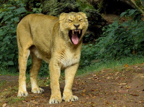 lion-976388_1920