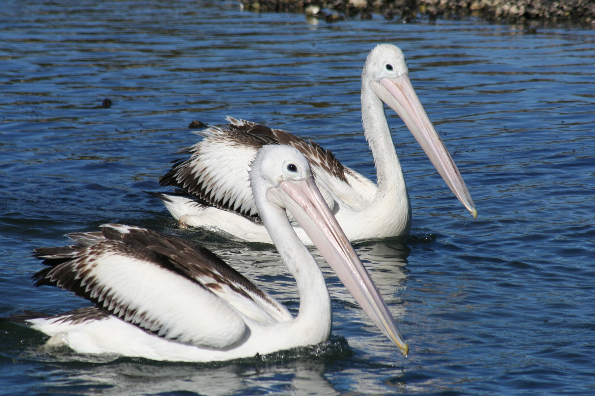 pelican-1368742_1920